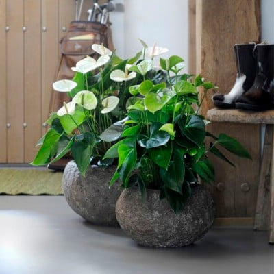 bananenplant-in-pot_mamablogger_tuincentrum_musthave_planten_interieur_